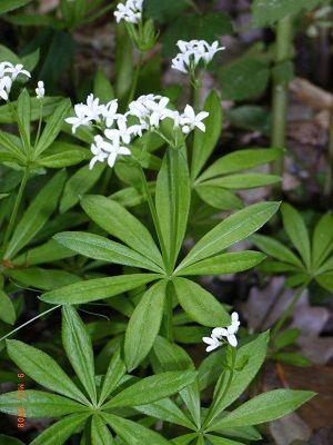 plant d'aspérule odorante