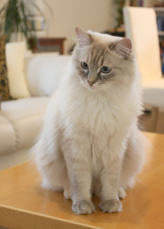 """""""Quin"""": Kevin  Yuri's lynx blue-point mitted Ragdoll"""