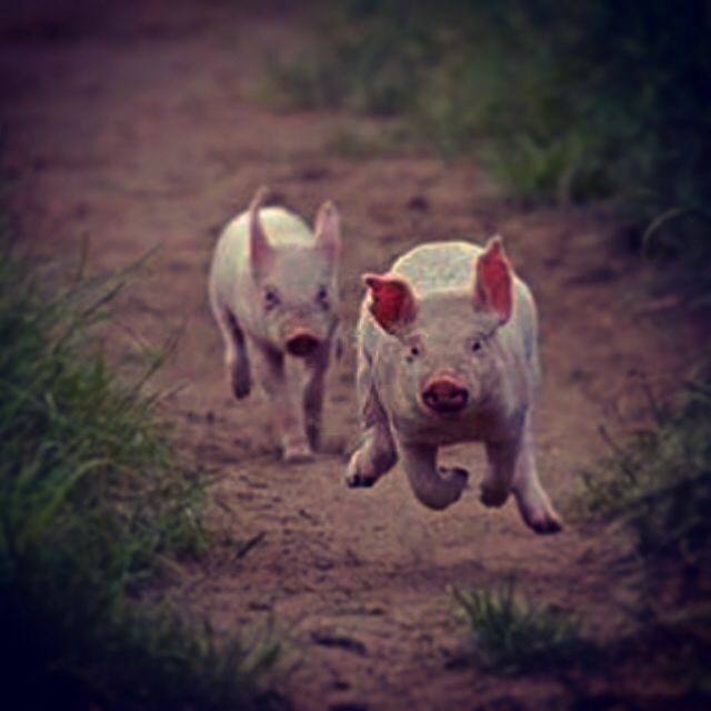 Happy Pigs....