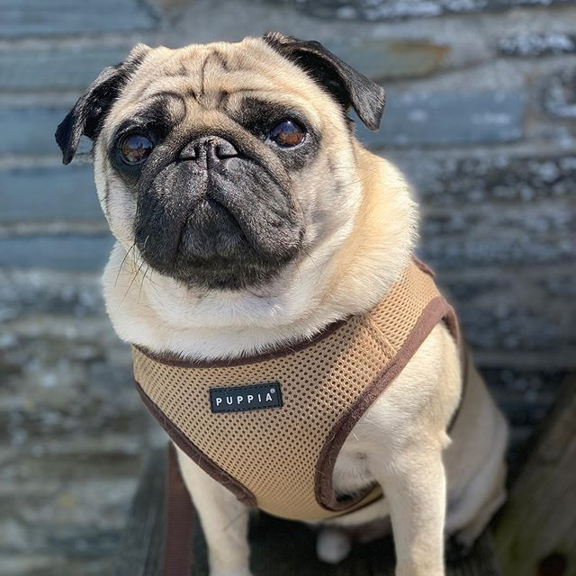 Puppia Beige Step In Harness Jacket Available At Www Ilovepugs Co