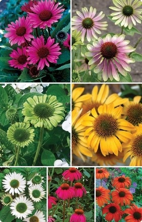 Coneflower Collection - Fatal Attraction, Green Envy, Green Jewel, Harvest Moon, Virgin, Red Knee High, Tangerine Dream.