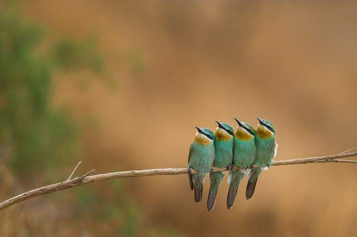 Squeezed - Four Blue Cheeked Bee Eaters Squeezed Together Trying To Warm Each Others Of The Chilly Weather .. They Were Looking At A Passing By Steppe Eagle Just Above Them