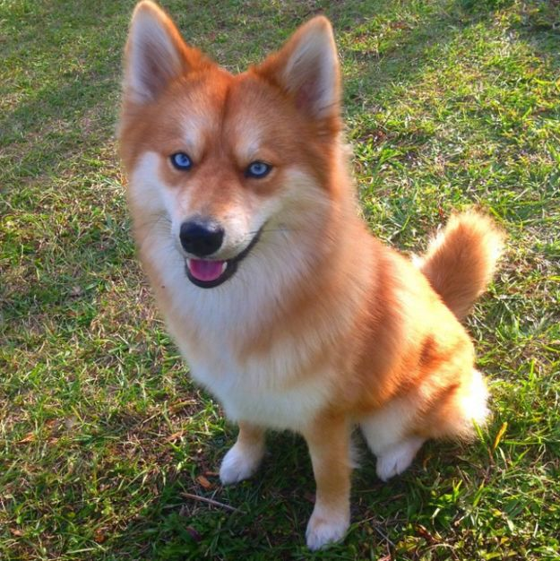 Meet Mya, a dog who looks exactly like a little fox. | This Pomeranian-Husky Mix Is The Pet Fox You Always Wanted