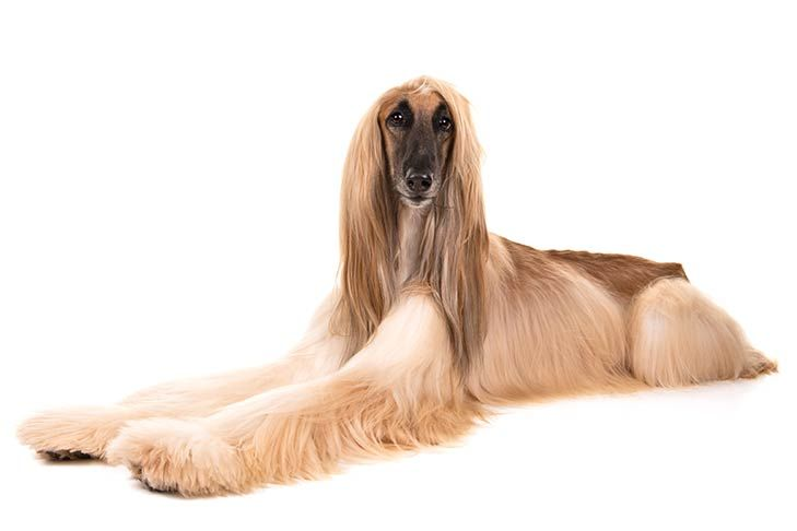 Afghan Hound Dog Breed Information Afghan Hound Beautiful Dog