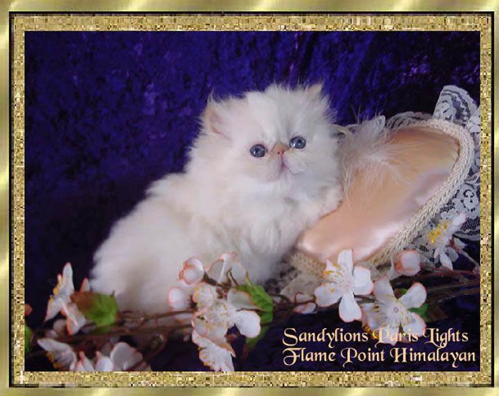 Himalayan persian cat breeders uk