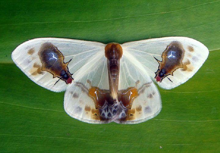 Le Macrocilix maia est un papillon de nuit qui se trouve en Inde, au Japon, à Taïwan, en Corée, en Chine, en Malaisie péninsulaire, à Sumatra ainsi qu'à Bornéo. Comme beaucoup de papillons, il utilise une sorte de camouflage pour se protéger des prédateurs. Il est doté de deux motifs symétriques ressemblant étonnamment à une mouche qui semble se nourrir d'excréments d'oiseaux ! Il dissuade ses ennemis avec une certaine odeur proche de celle des fientes d'oiseaux. Incroyable !