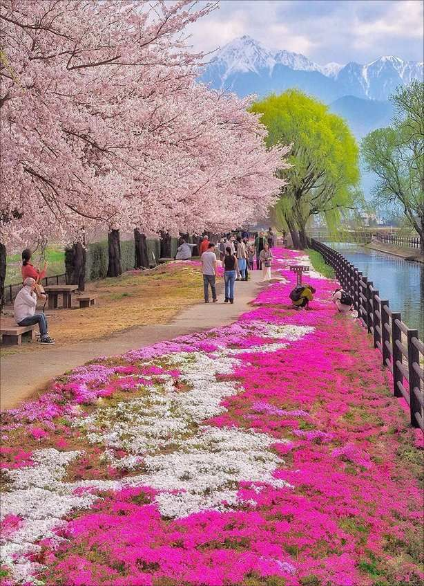 The Bloom Of Cherry Blossoms In Japan Traveller Cherry Blossom Japan Cherry Blossom Japan