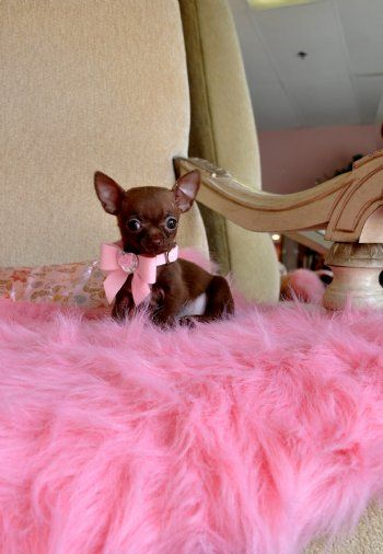 Micro Teacup Chocolate Chihuahua PuppybrSo Tiny! 18 oz at 21 weeks!brFits in the palm of your hand!brAKC RegisteredbrSold Moving to Arizona