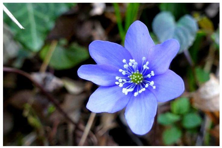 Fiore di Anemone Hepatica Selvatica ~ [http://www.juzaphoto.com]