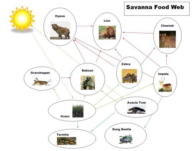 food webs in the savannah - Google Search