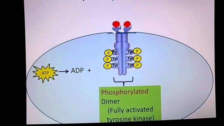 "Receptor Tyrosine Kinase animation. Binding of insulin ligand will cause monomers to become dimers. Then, the (many) tyrosine(s) will auto-phosphorylate. This creates another conformational change that allows it to interact with an ""adapter protein"" which then indirectly binds  with a G-protein.   The tyrosine kinase can lead to multiple cellular responses from just ONE signal."