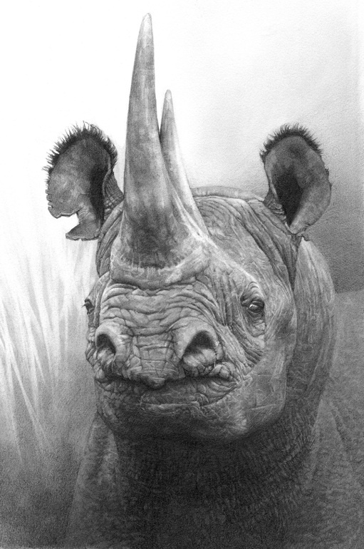 "Saatchi Online Artist: Ralph N Murray III; Pencil, 2011, Drawing ""Print from Original Pencil Drawing of an African Black Rhino"""