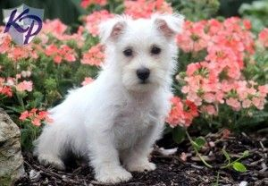 westie puppies for sale in pa
