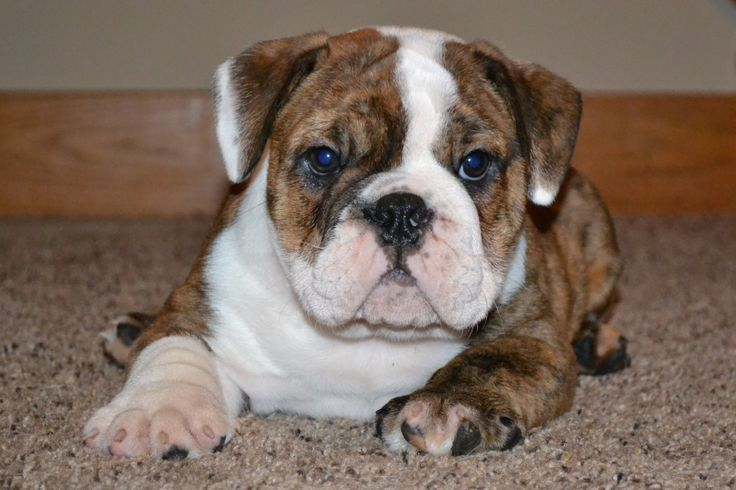 Images For > Blue Nose Pitbull Mix With English Bulldog