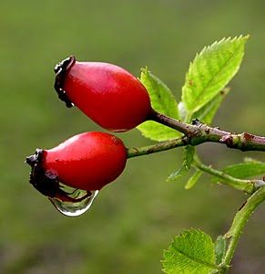 Beautiful rosehips in the hedgerow - did you know they are great for anti-ageing natural skincare? Read www.herbhedgerow.co.uk for more info.