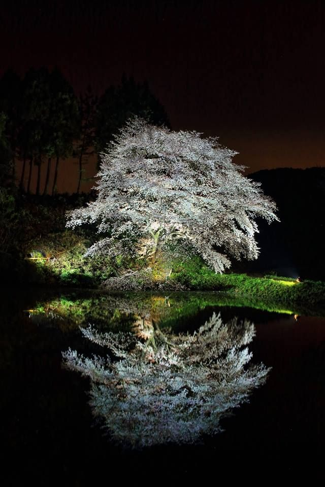 Cherry tree in Kawauchi, Saga, Japan