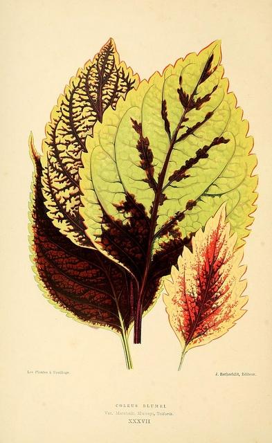 Les plantes a feuillage coloré: Rothschild, 1867-1870