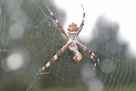 Araña comiendo