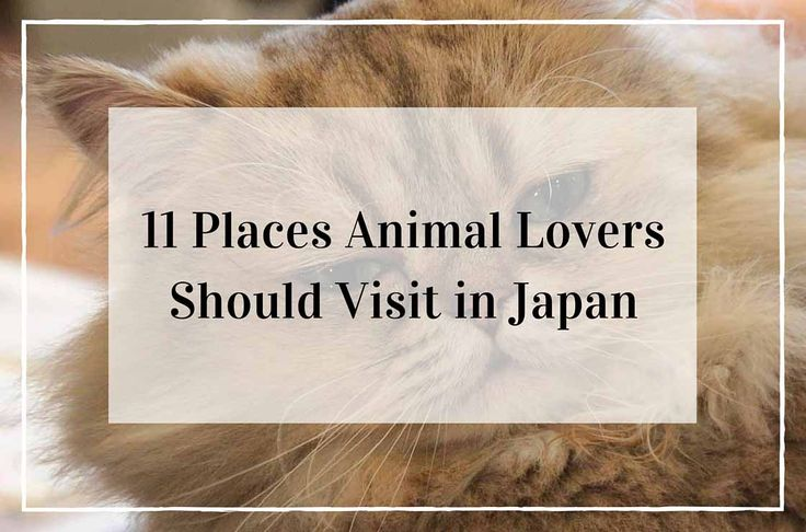 11 place to visit in Japan for animal lovers. Japan is not only the home of cat cafés but it also has several cat islands, a bunny island and a fox village.