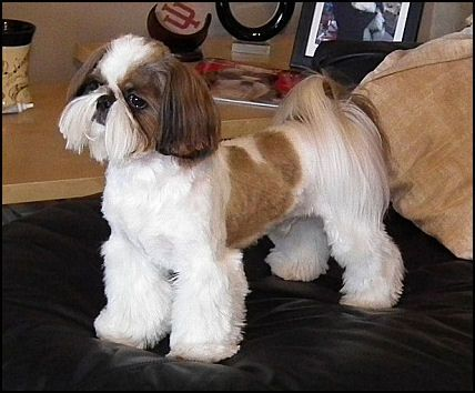 LOVE THIS CUT......Google Image Result for http://www.mrfooshihtzu.com/PoochHaircutCW.jpg