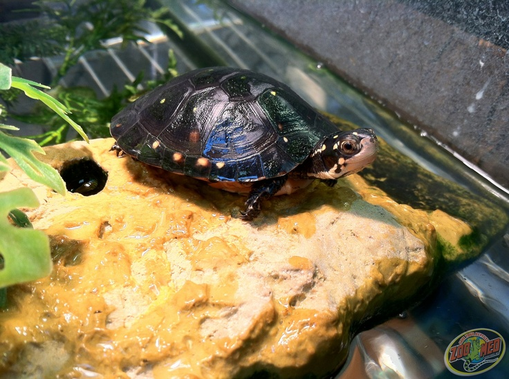 Spotted Turtle at Zoo Med Labs.