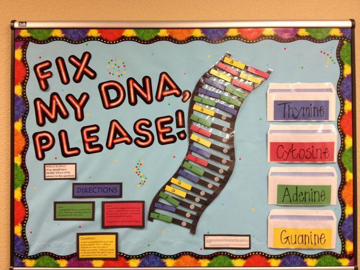 DNA structure bulletin board   High School biology   Pinterest