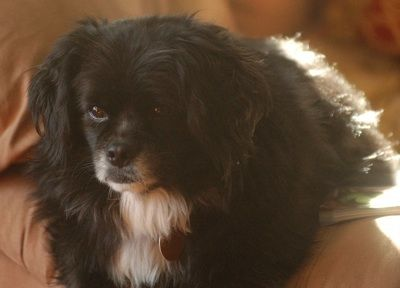 English King information and pictures, Cavalier King Charles SpanielEnglish Toy Spaniel hybrid dogs