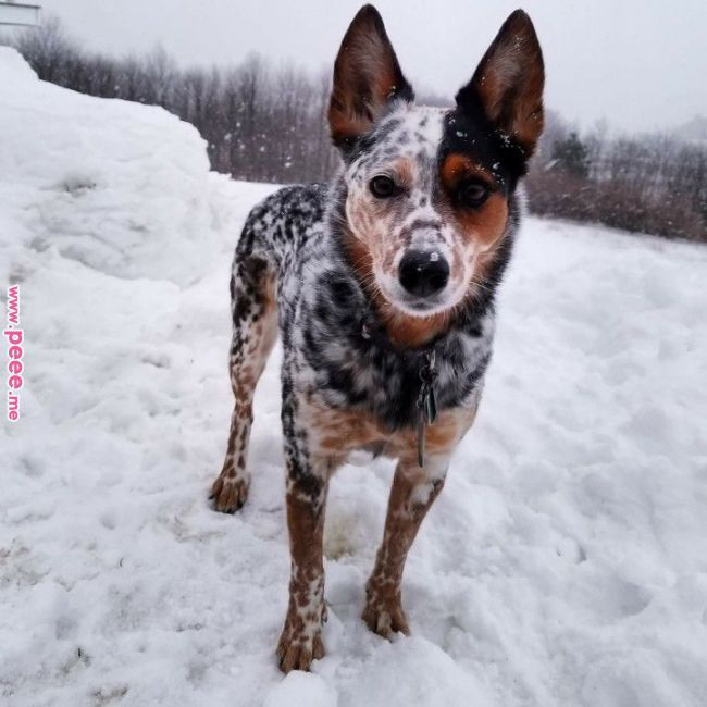 Pretty Mottling Dogs Pinterest Dogs Australian Cattle Dog And Puppies Pretty Mottling Dogs Pin Blue Heeler Dogs Austrailian Cattle Dog Pretty Dogs