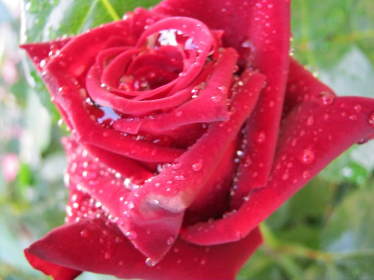 różą po burzy