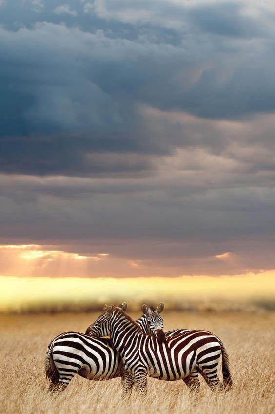 Zebras, Serengeti National Park, Africa by Ruan Boezaart
