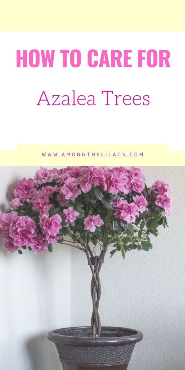 How To Grow Indoor Azalea Trees Indoor Tree Plants Azalea Flower Azaleas Care
