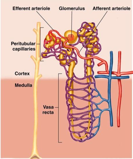 renal system physiology Understanding how the urinary system helps maintain homeostasis by removing   and regulating water balance in the body is an important part of physiology.