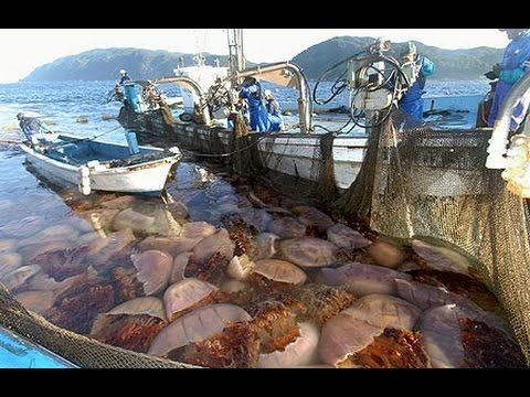 Jellyfish Invading Japan
