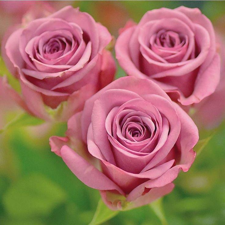 #Repost @funda_flowers   Congrɑtulɑtions!  Tebrikler Photo by :@_s_shakel_fs_ Selected by :@fundayigit86  Follow@funda_flowers Tag #funda_flowers  Our family hubs @fm_flowers_ @fm_alltags @fmh_rainbow  #funda_flowers #fm_flowers_ #fm_alltags #fmh_rainbow #ig_ard_flowers #7flowers_1day #pocket_flowers #turkportal #funda_flowers_sshakelfs