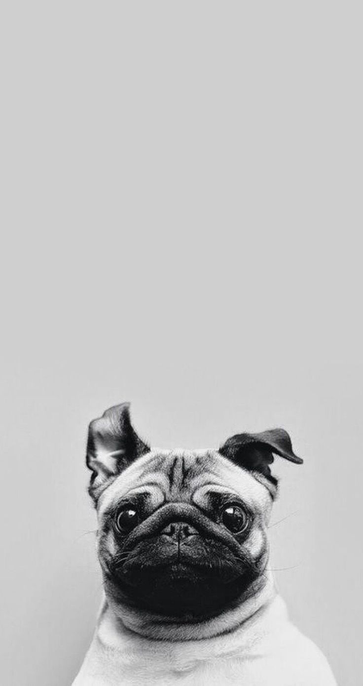 best pug images on pinterest pug dogs adorable animals and