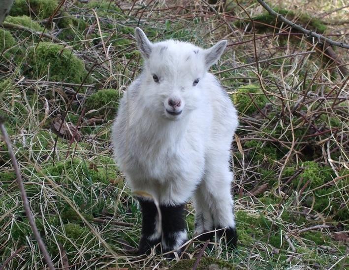 Rare Breed Goats - #Bagot #Goats