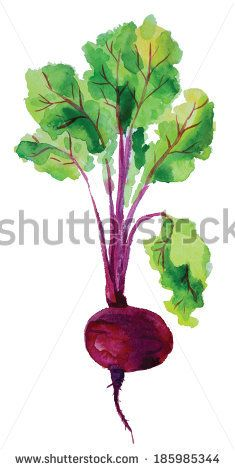 Beetroot with leaves. Hand drawn watercolor painting on white background, vector illustration.