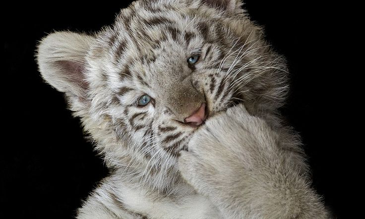 Is this the cutest tiger ever? Cheeky cub proves a photographer's dream as it poses for the camera.