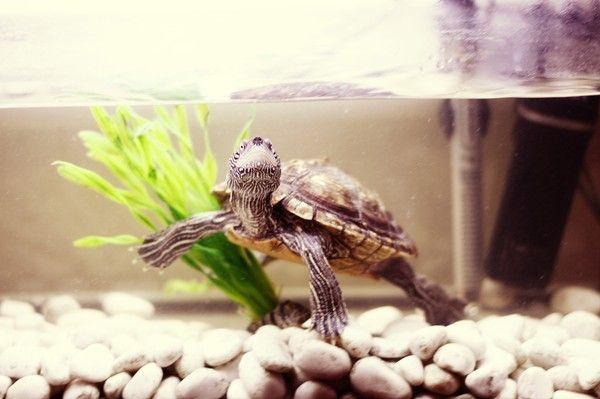 Our turtle #aquarium #turtle #white #stones