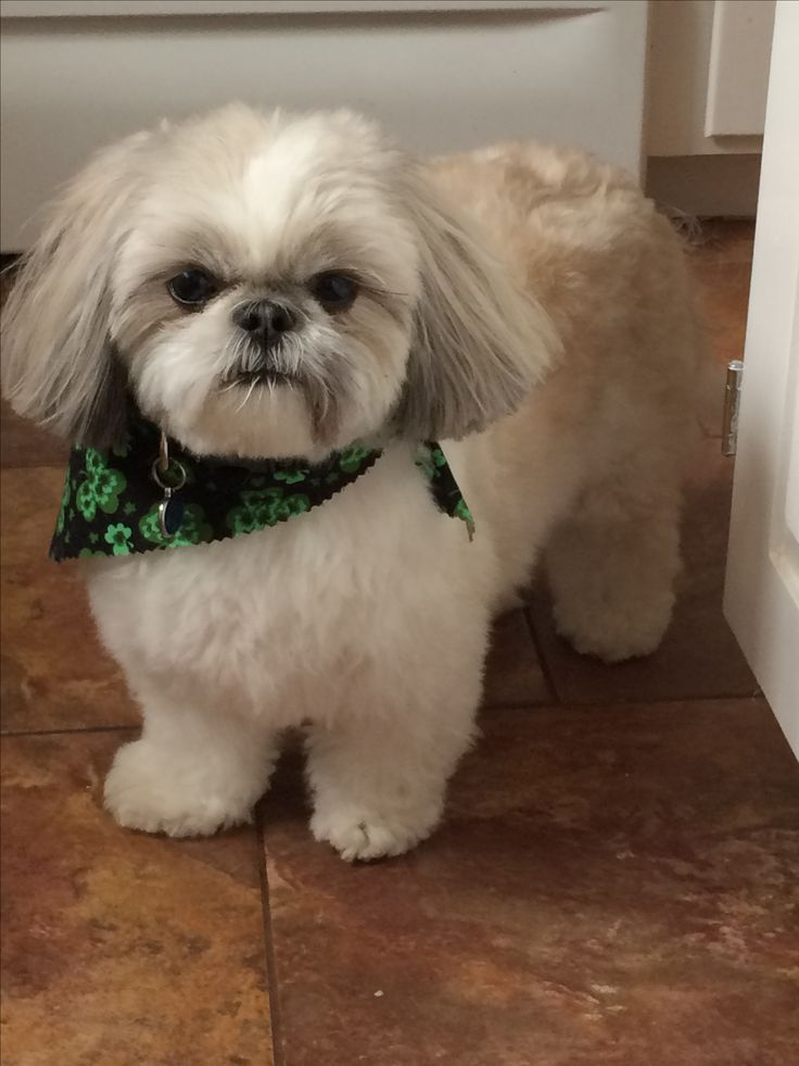 lhasa shih tzu 1079 best shi tzu and lhasa apso love dogs images on 7239