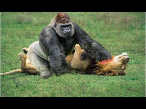 wild animals fighting, lion vs baboon, buffalo, animals, video, african ...