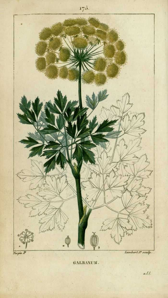 img/dessins-gravures de plantes medicinales/galbanum.jpg