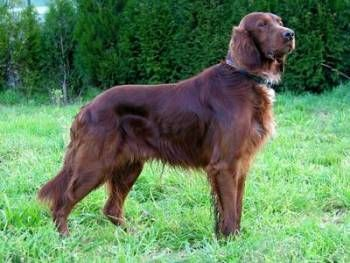 Setter Irlandés – Setter Irlandés Rojo http://www.mascotadomestica.com/adriestramiento-perros/setter-irlandes-setter-irlandes-rojo.html