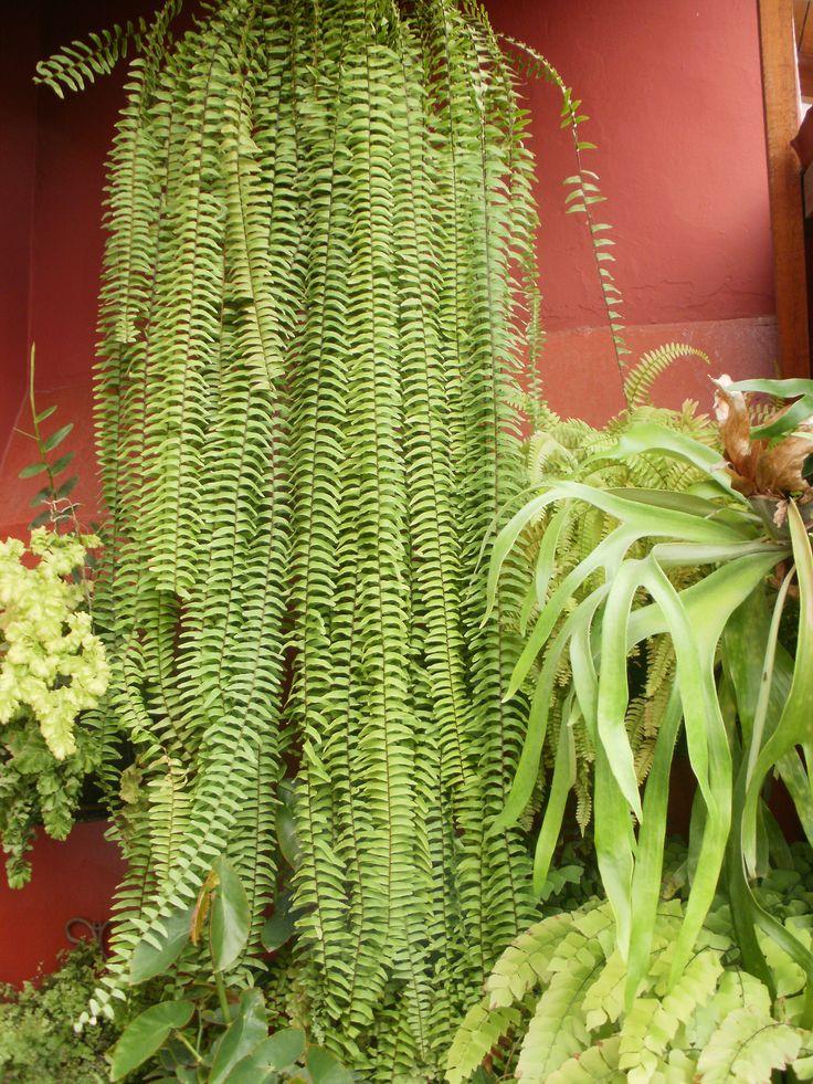 Las 25 mejores ideas sobre helechos colgantes en pinterest for Plantas ornamentales helechos