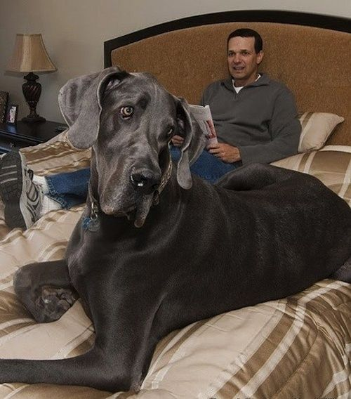 World's biggest dog sitting with his master.. click the pic for details--- it kinda looks like mrs. o'leary.....