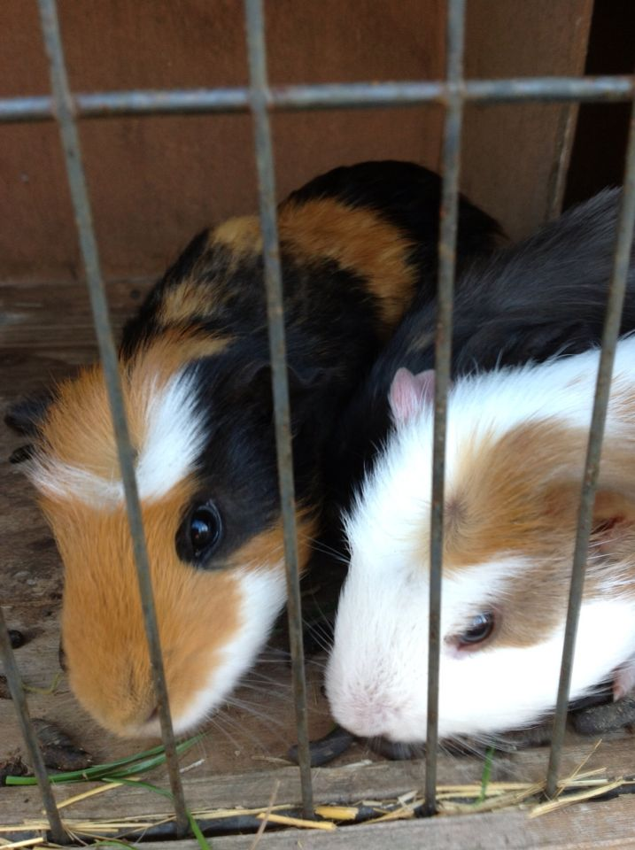 My three baby guineas left to right: Jasper, Batman and Mr Peaches.