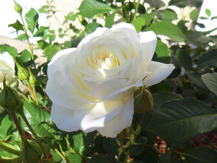 99 best images about rose on pinterest garden roses damasks and white roses - Rose cultivars garden ...
