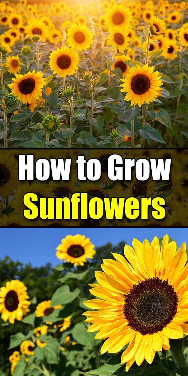 Wie man Sonnenblumen züchtet, die Lieblingsblume des Sommers