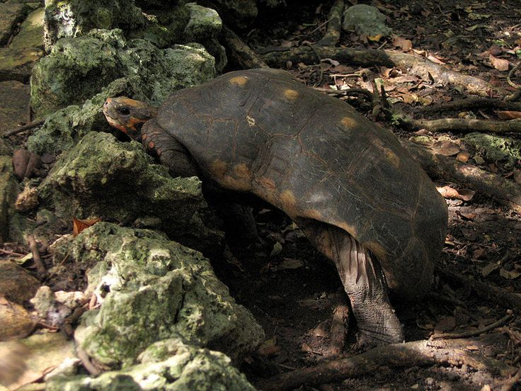 Reptile Intelligence – Red-Footed Tortoises Learn by Imitation