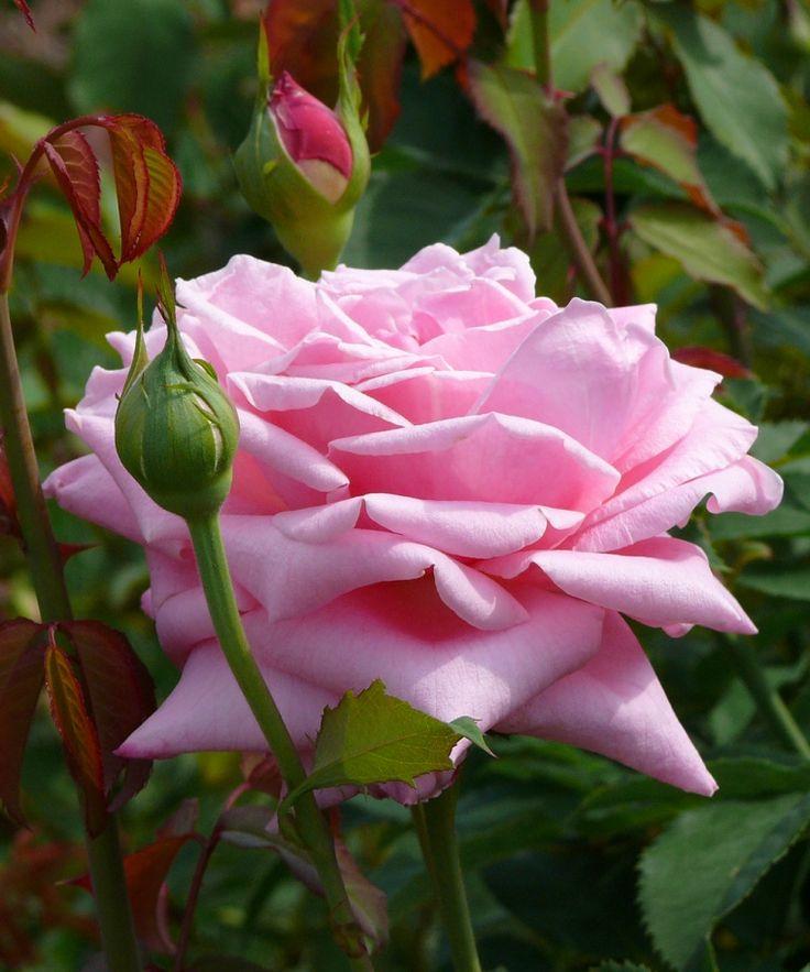 'Belinda's Dream'   Shrub Rose. Dr. Robert E. Basye, 1988.   Flickr - @ photoop23